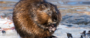 images:beaver-1-620x264.png